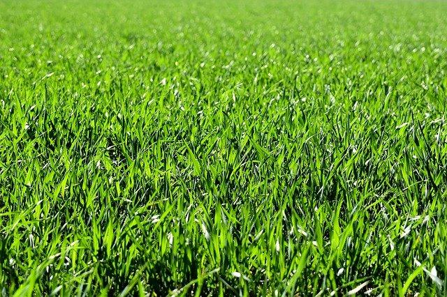 nasiona trawy uniwersalnej